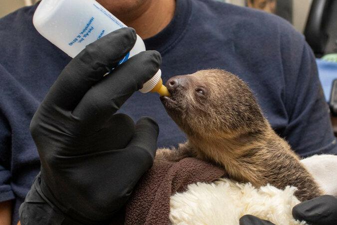 Jak dba się o nowonarodzonego leniwca w zoo: wideo