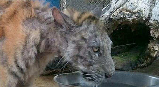 Niesamowita przemiana 9-miesięcznej tygrysicy uratowanej z cyrku