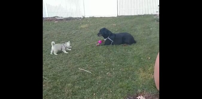 """""""Nauczę cię, jak to zrobić"""": groźny pies pokazał denerwującemu szczeniakowi podstawy szczekania. Wideo"""