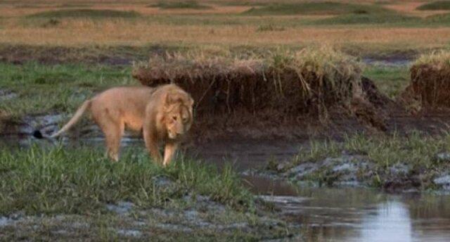 Lew dziękuje swojemu przyjacielowi, który uratował go przed 20 hienami