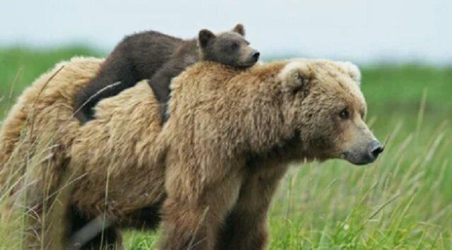 Niedźwiedzica walczyła z wilkami, aby uratować swoje dzieci. Wideo