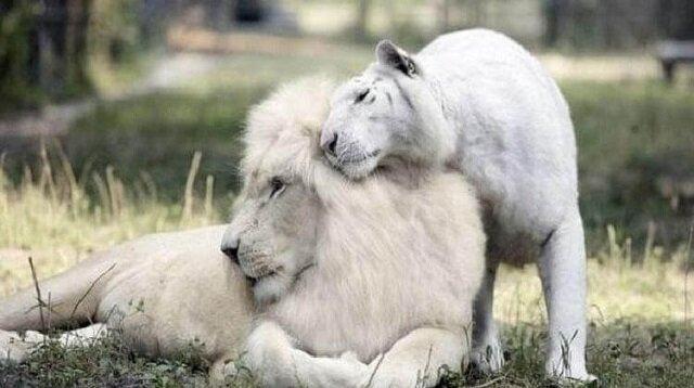 Biały lew i tygrysica wydali na świat niesamowite potomstwo