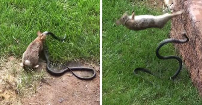 Królica zamieniła się w berserkera, aby uratować króliki przed wężem
