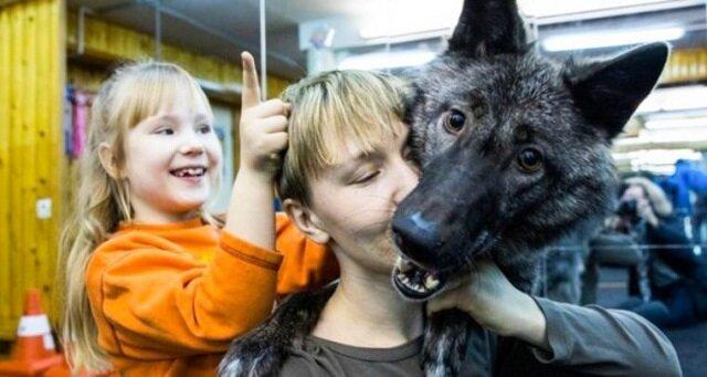 Z wilkiem w tym samym domu: rodzina oswoiła dzikie zwierzę, a teraz jest on prawdziwym członkiem rodziny