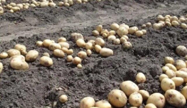 Co zasadzić w polu po zbiorze ziemniaków, aby przyszłoroczne plony były jeszcze większe