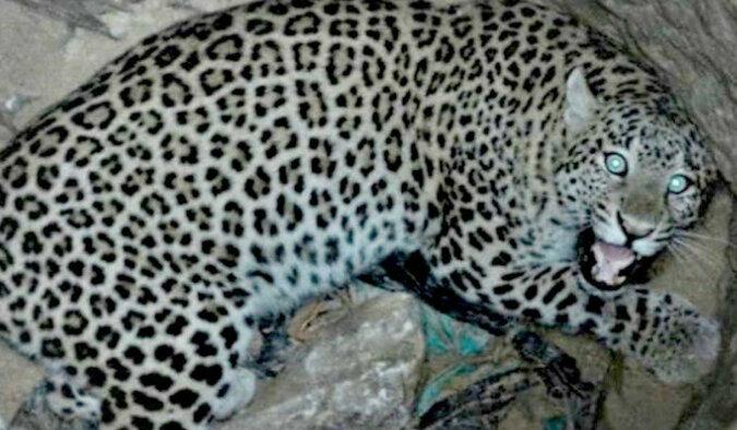 Przychodzisz do studni, a z niej leopard patrzy na ciebie. No cóż, należy go uratować