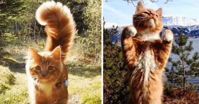 Poznaj norweskiego kota, który po prostu uwielbia spacerować z ludźmi po dzikiej naturze