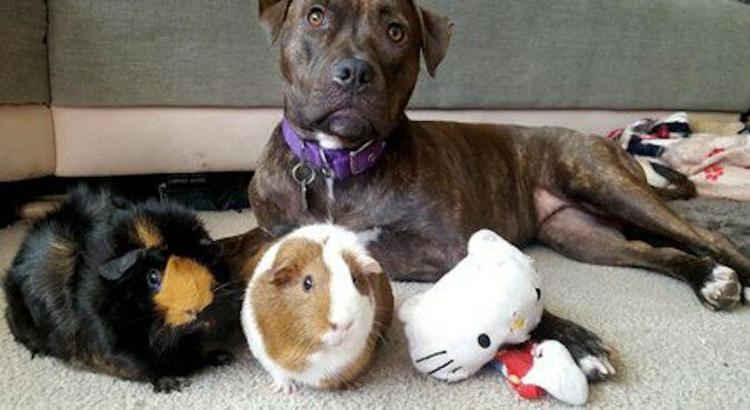Urocze sąsiedztwo: uratowany pitbull znalazł rodzinę z dwiema świnkami morskimi