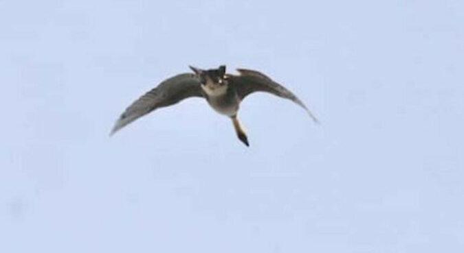 Na Hawajach udało się sfotografować dziwne zwierzę, które wygląda jak latający kot. Co to za zwierzę?