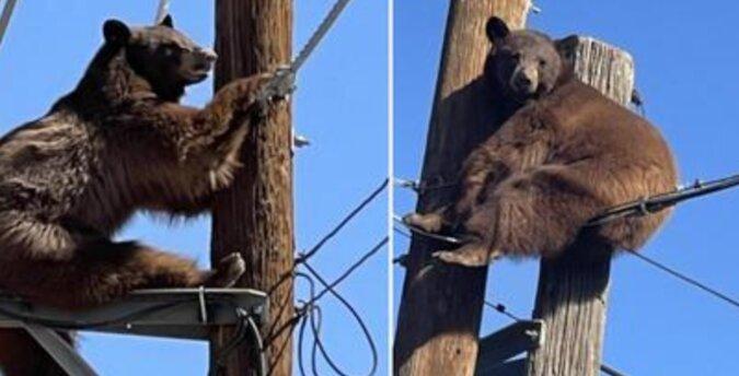 Jak ratują niedźwiedzie, którzy utknęli na słupach