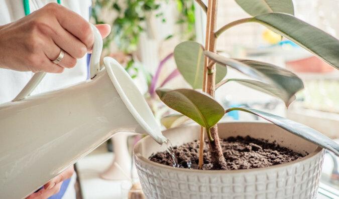 Aby kwitły i pachniały: najlepszy i bardzo prosty środek na rośliny domowe