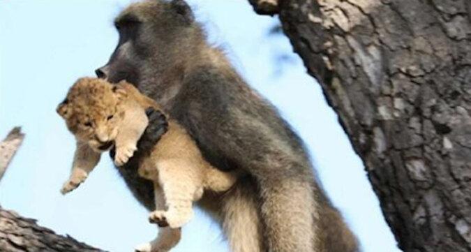 """Przewodnik safari zauważył pawiana trzymającego lwiątko - powtórzyli kultową scenę z """"Króla Lwa"""""""