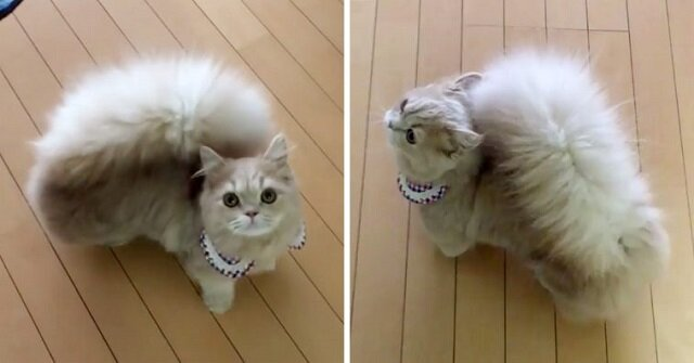 Kitty Belle ma najbardziej elegancki ogon, prawie jako wiewiórka