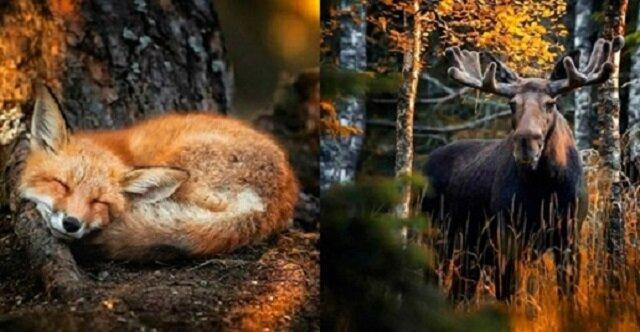 Wspaniałe zdjęcia z niesamowitych lasów Finlandii
