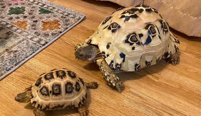 Są szanse, że nigdy wcześniej tego nie widziałeś - żółwie lamparci