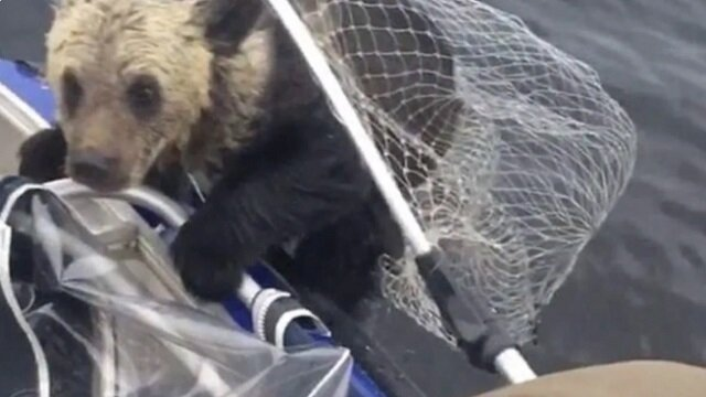 Niedźwiedzica nie była w stanie pomóc swoim młodym, ale w pobliżu znaleźli się rybacy
