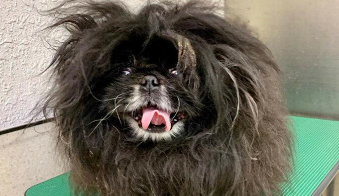 Zabawne przykłady tego, jak właściciele przyprowadzili jednego psa do groomera, a dostali zupełnie innego