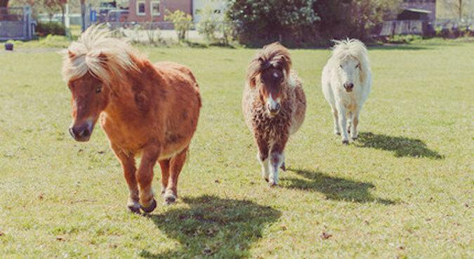 """Cud natury: uratowany mini koń naśladuje """"moonwalk"""""""