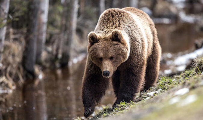 Ratowanie niedźwiedzia, który miał wiadro na głowie: wideo