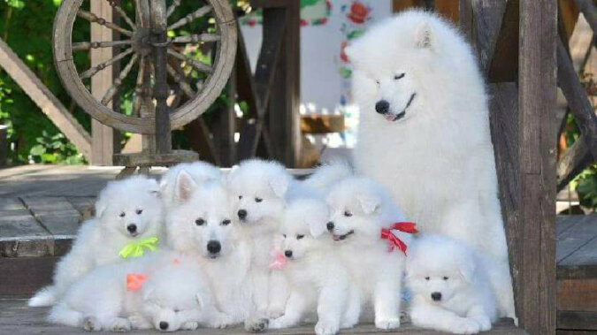 Jeśli masz zły dzień, spójrz na te urocze zdjęcia psów rasy Samoyed