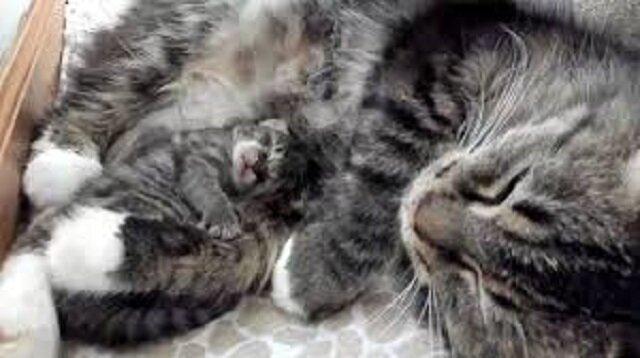Kociak urodził się 4 dni później niż cały miot - matka pozostała najbliższą istotą dla tego maleństwa. Wideo