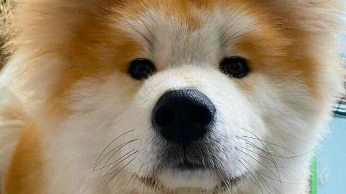 Puszyste serce: pies z niezwykłą głową podbija sieci społecznościowe