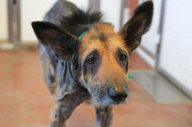 Bezdomny i chory pies nie miał szans, ale wolontariusz zabrał go do domu i dokonał cudu