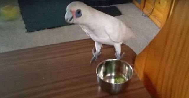 Na obiad gospodyni podała papudze brokuły. Reakcja ptaka była nieoczekiwana