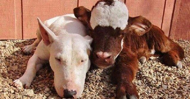 Uratowana krowa mieszka w domu z 12 psami i myśli, że jest taka jak one