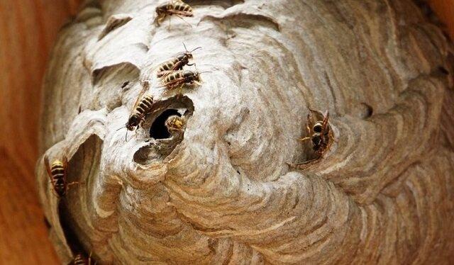 Jak wygląda gniazdo os od środka? Niesamowity widok