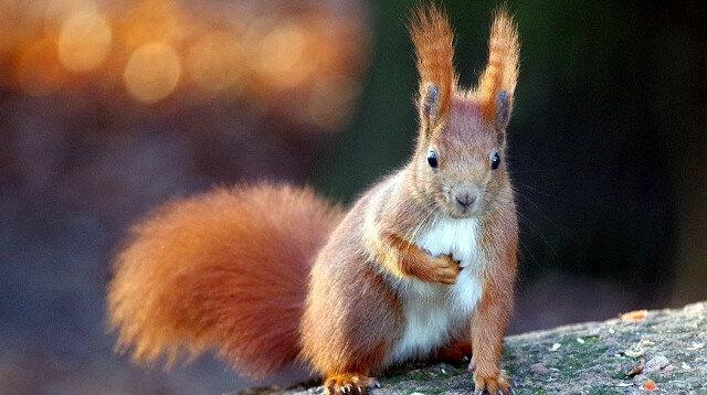 Wiewiórka zjadła gruszki i wszystkich rozbawiła - owoce były sfermentowane. Wideo