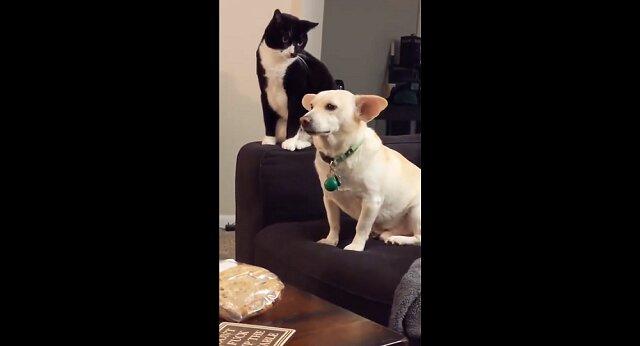 Bić czy nie bić: kot długo się zastanawiał, czy uderzyć psa - zabawny filmik