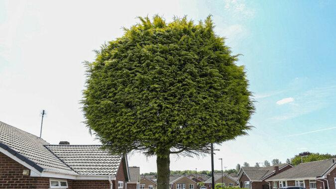 Sąsiedzi kłócili się o drzewo, które znalazło się na dwóch różnych działkach jednocześnie. Zabawny wynik – zdjęcia