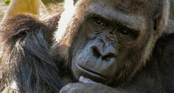Aby młoda matka mogła odpocząć, młody goryl postanowił się zaopiekować dzieckiem