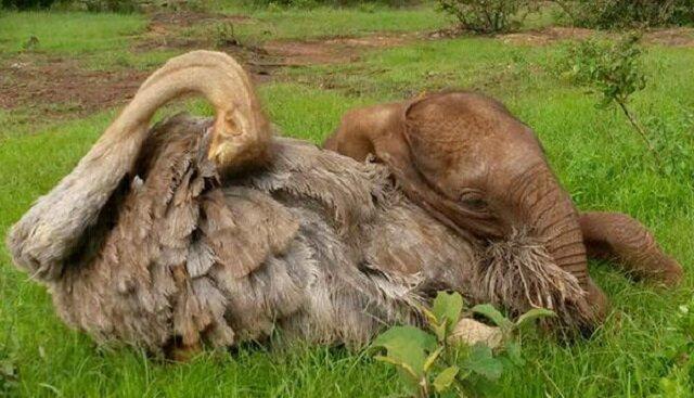 Osierocony słoń, który stracił rodzinę, codziennie przytula strusia