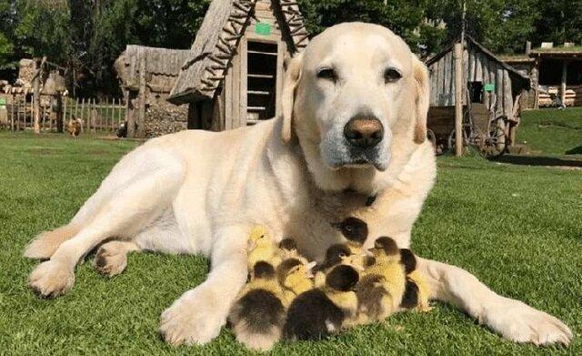 Lis porwał ich matkę. Ale kaczuszki zostały adoptowane przez labradora i teraz on uważa się za ich ojca, a nawet uczy je pływać
