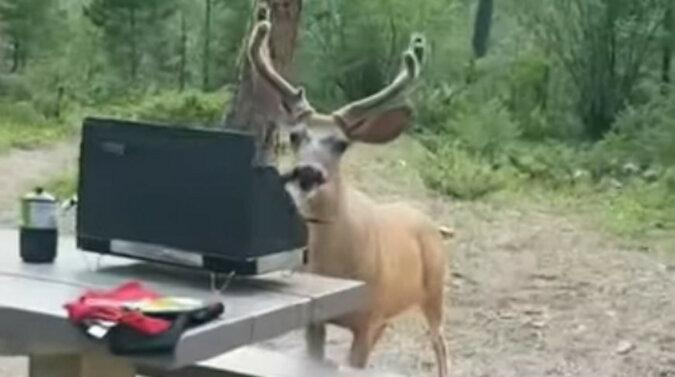 Napad stulecia: jeleń ukradł obiad tuż spod samego nosa mężczyzny. Wideo