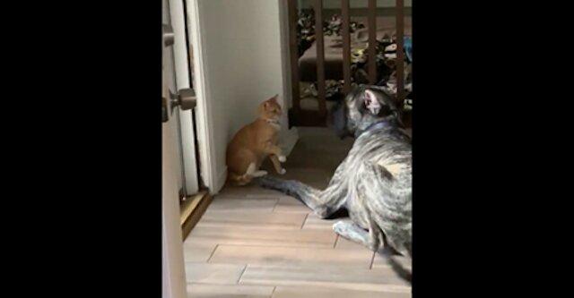 Chytry kot znalazł sposób na bardzo irytującego psa - zabawny filmik