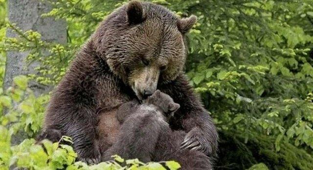 Niedźwiedzica podsunęła swojego niedźwiadka do dziewczyny, aby ta wyciągnęła drzazgę z jego łapy