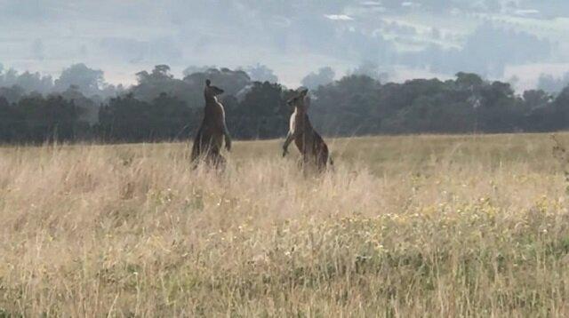 Wojna terytorialna: epicka walka kangurów w Australii – filmik