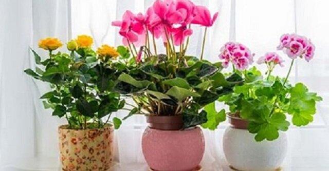 Nadtlenek wodoru do kwiatów w pomieszczeniach - balsam w zimnych porach roku