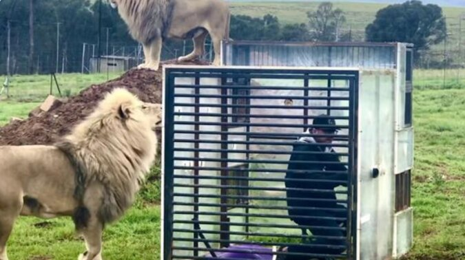Ludzie siedzą w klatce, a na zewnątrz są lwy: nowa atrakcja pojawiała się w południowej afryce