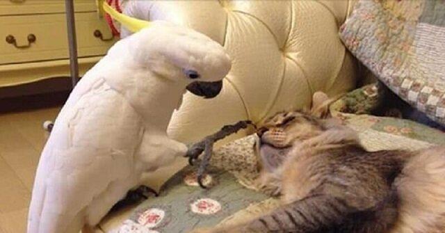 Mądra papuga nauczyła się miauczeć i syczeć. I niema w tym nic dziwnego, musiała się przystosować do życia