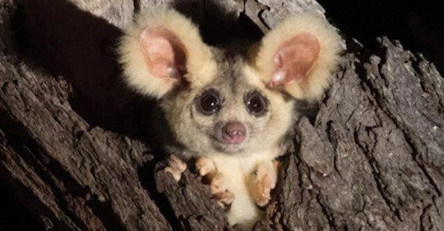 W Australii odkryto urocze futrzane uszate stworzenia