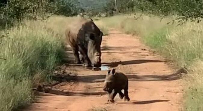Kto tu jest straszny? Mały nosorożec rzucił się, by chronić mamę przed ludźmi