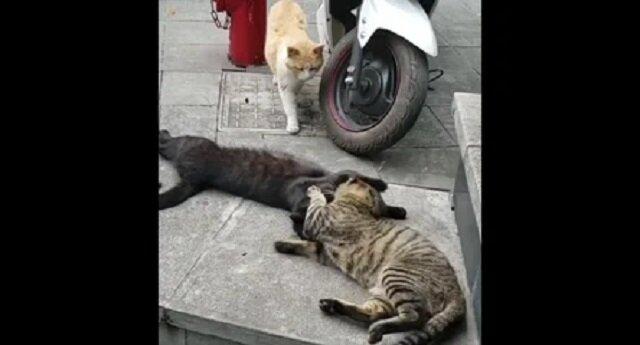 Kot znalazł kotkę z kochankiem, reakcja wszystkich trzech jest bezcenna – filmik
