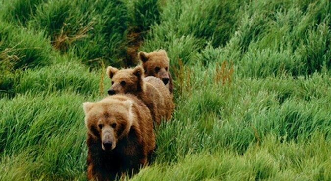 Niesamowite widowisko: niedźwiedzica przyniosła młode popływać w basenie