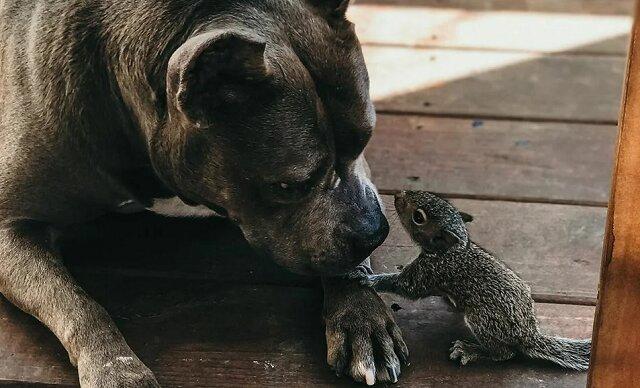 Czy można zaprzyjaźnić walczącego pitbulla i osieroconą wiewiórkę? Zobacz
