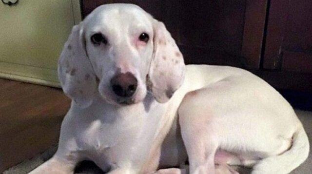 Ten uroczy pies 11 razy wrócił do schroniska, a wolontariusze zrozumieli, że nie będą mogli się z nim pożegnać