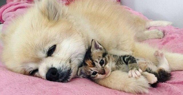 """Wzruszająca przyjaźń między psem a kociakiem. """"Nigdzie bez Ciebie nie pójdę"""""""